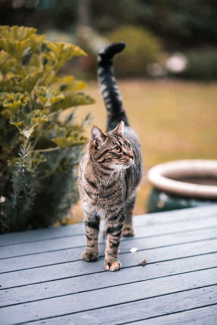 Cat on Wood Deck